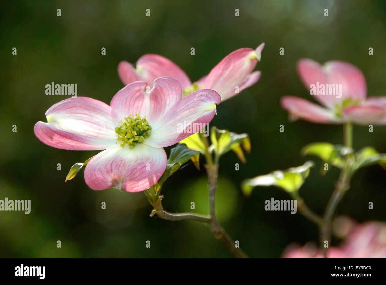 flowering-dogwood-tree-cornus-florida-ru