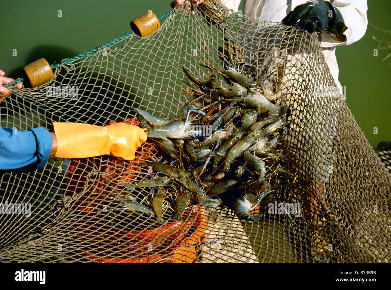 Giant Freshwater Prawns For Sale
