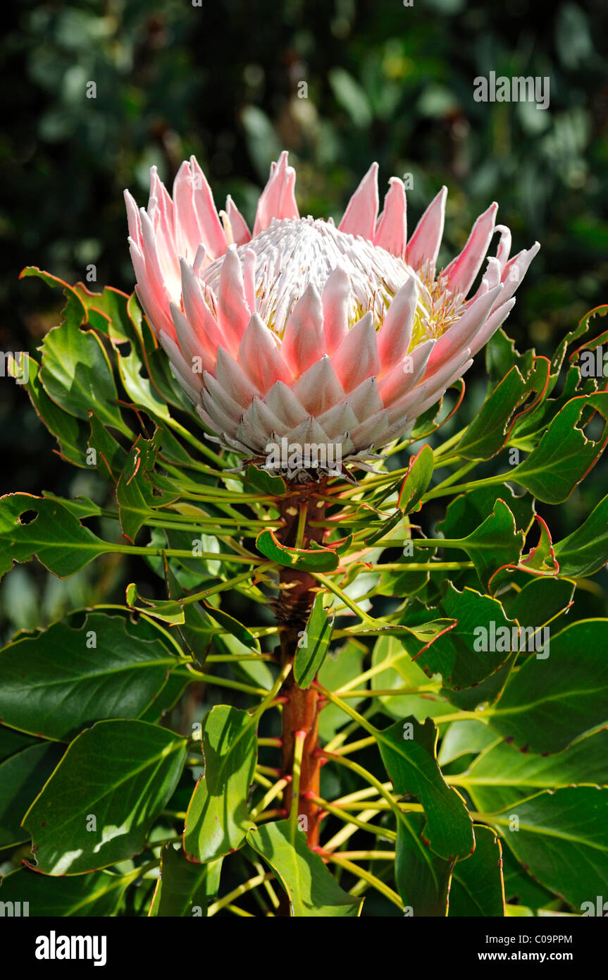 King protea protea cynaroides national flower of south for Outdoor photo south africa
