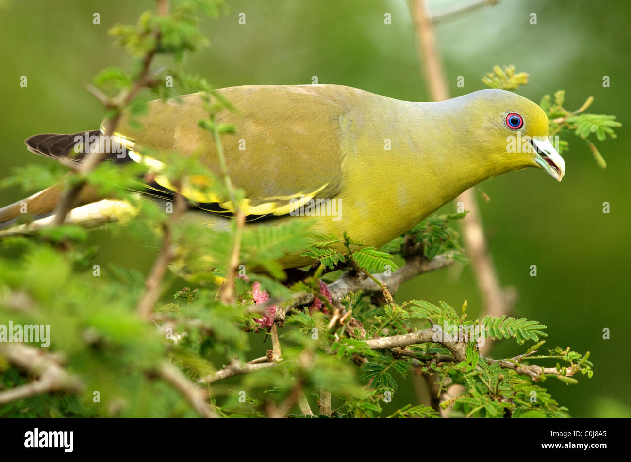 orangebreasted green pigeon treron bicincta yala