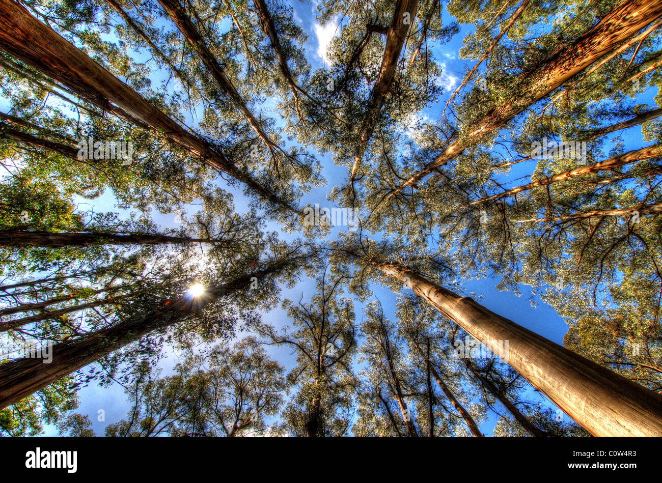 the-eucalyptus-trees-of-sherbrooke-fores