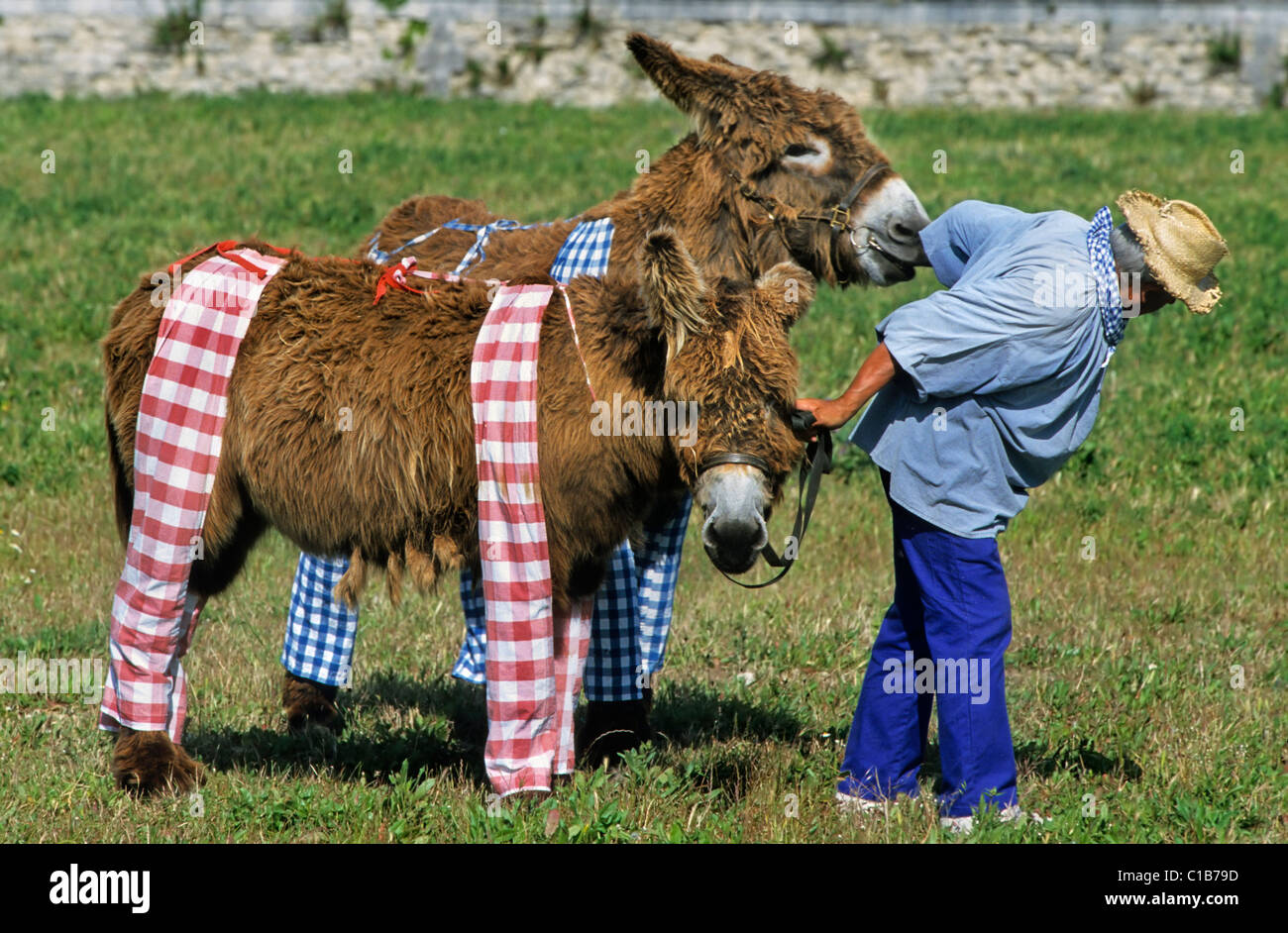Man dragging two stubborn Baudet de Poitou donkeys wearing trousers at Ile de Ré / Isle of Rhé, Charente-Maritime, Stock Photo