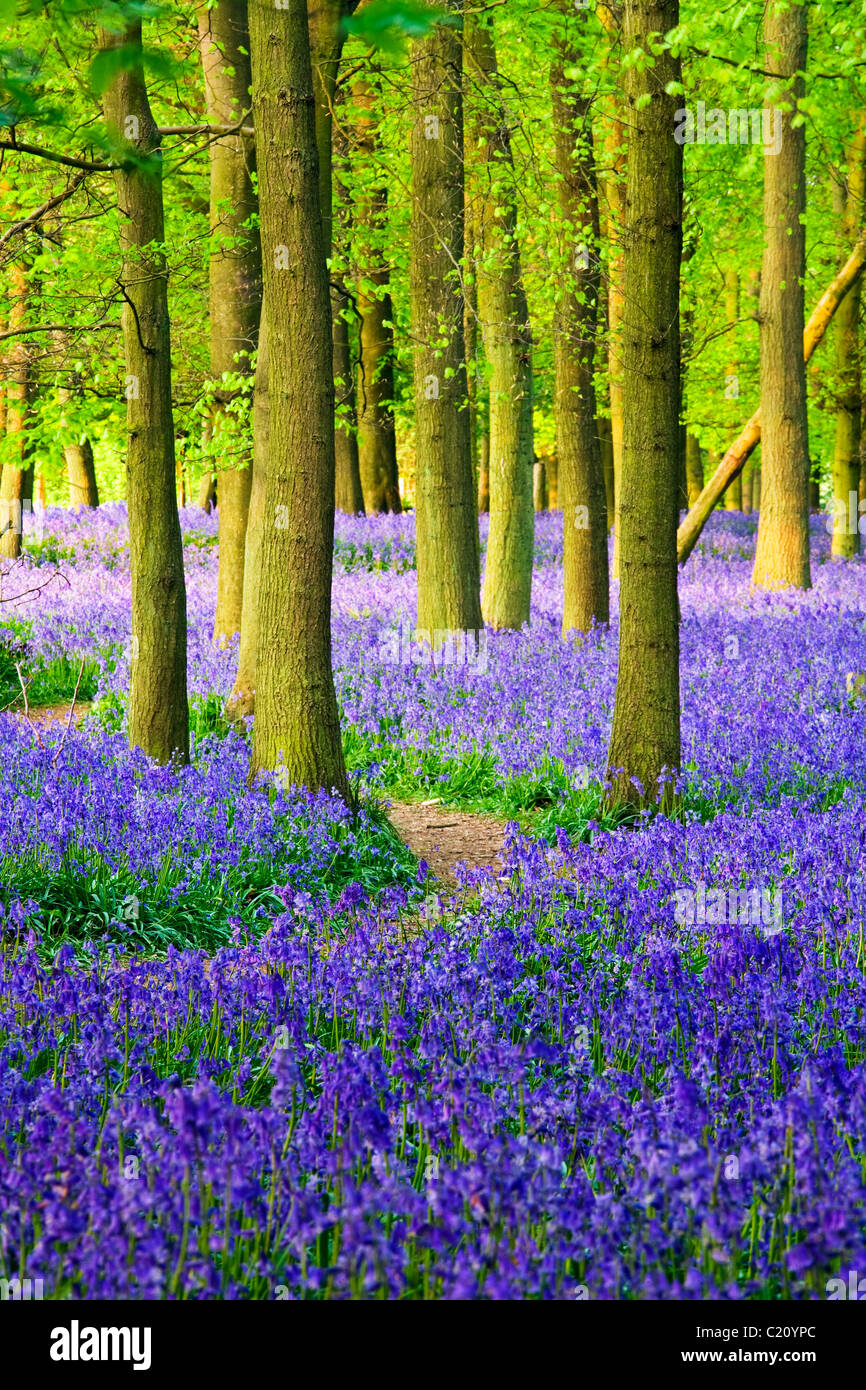 Bluebells(Hyacinthoides non-script)  in beech tree (Fagus sylvatica) wood, Hertfordshire, England, UK Stock Foto