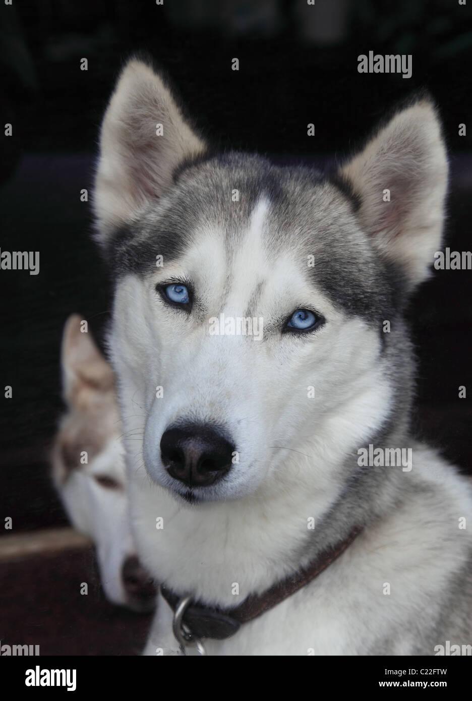 siberian-husky-C22FTW.jpg