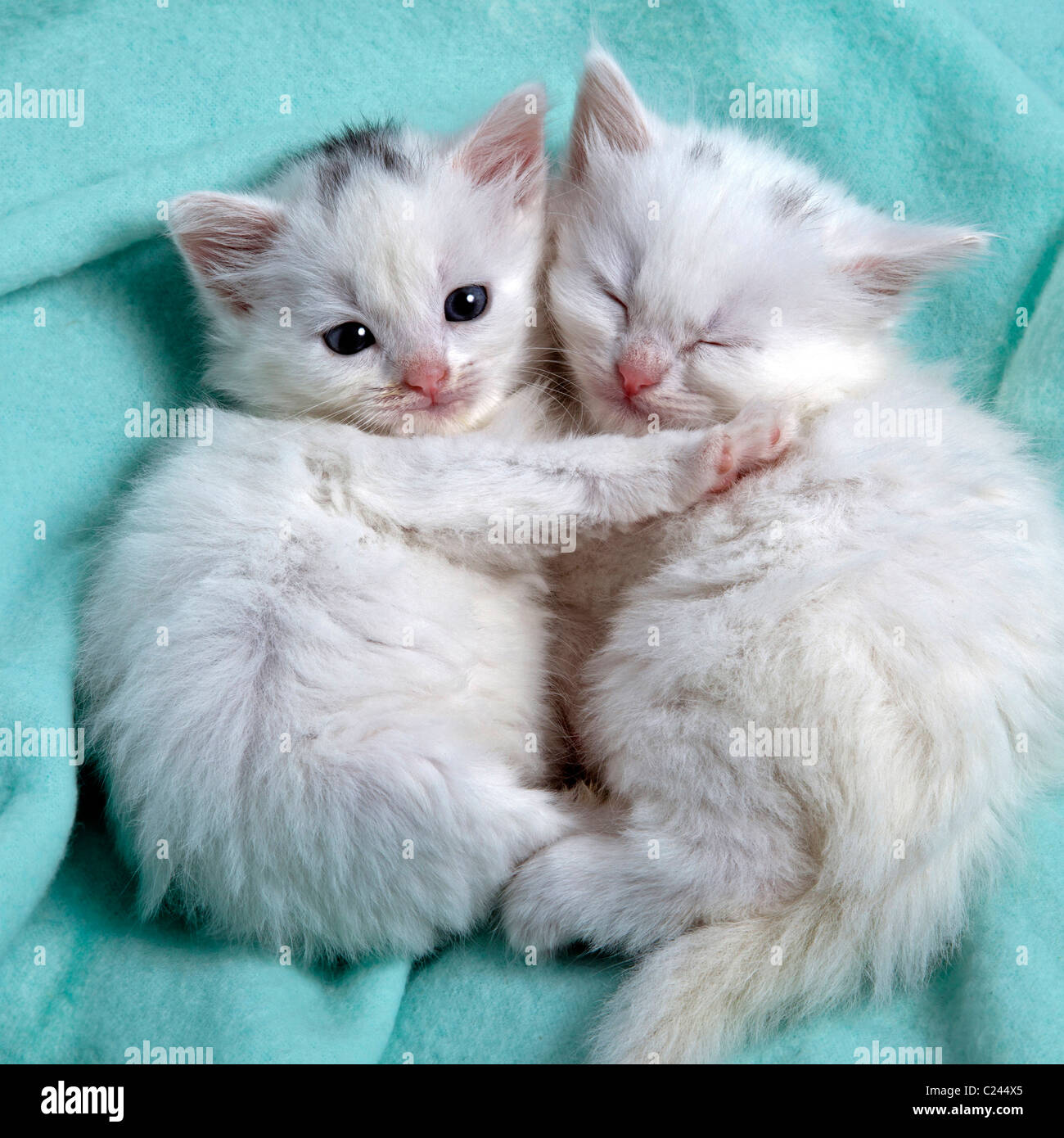 Cute White Kittens Sleeping Together Stock Photo Royalty
