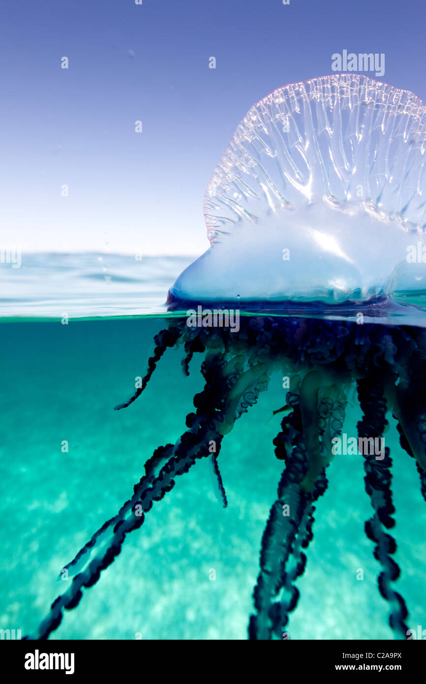 Over/under view of a Portuguese Man of War, a jelly-like marine invertebrate of the Family Physallidae. Stock Foto
