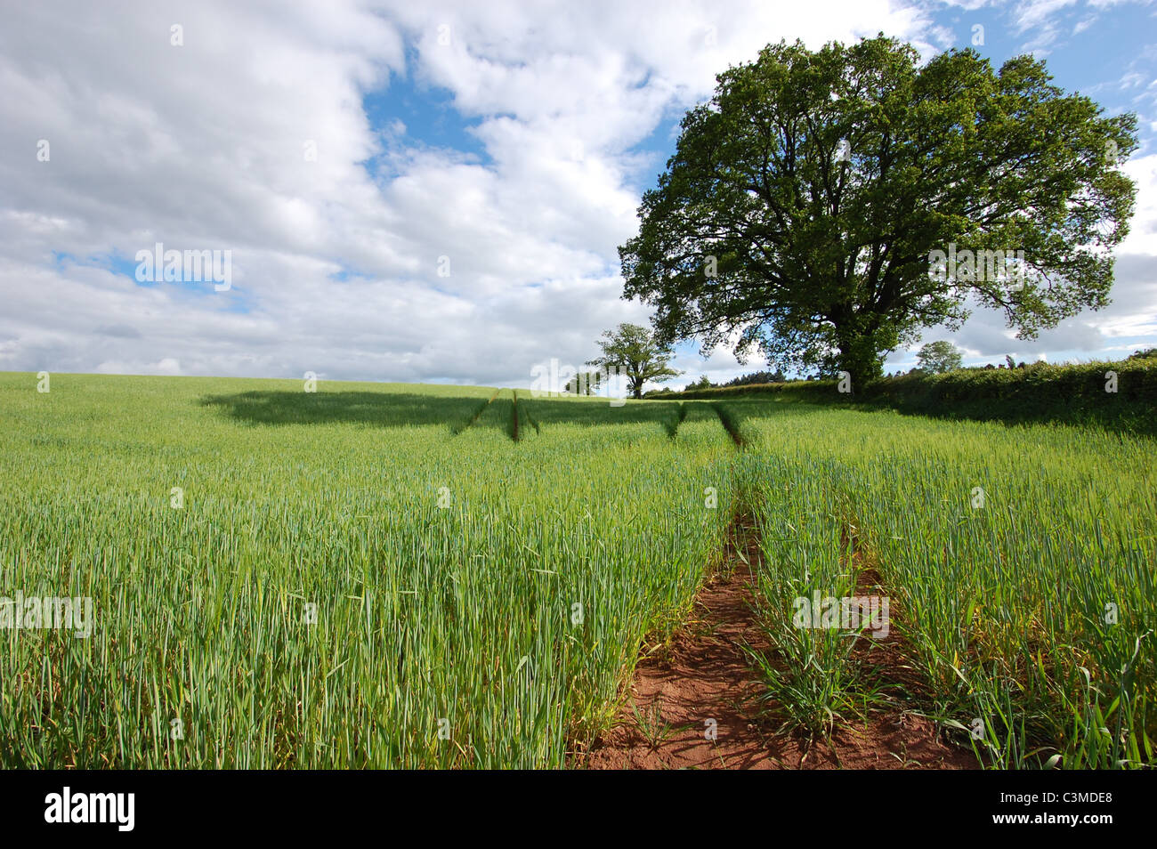 field-of-wheat-in-uk-with-an-oak-tree-C3