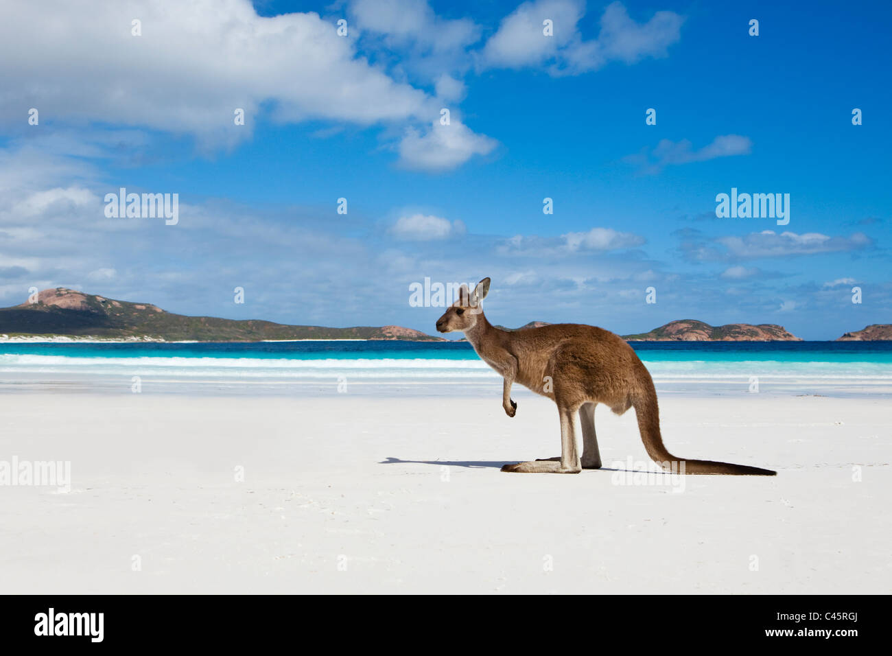 Kangaroo on beach at Lucky Bay.  Cape Le Grand National Park, Esperance, Western Australia, Australia Stock Foto