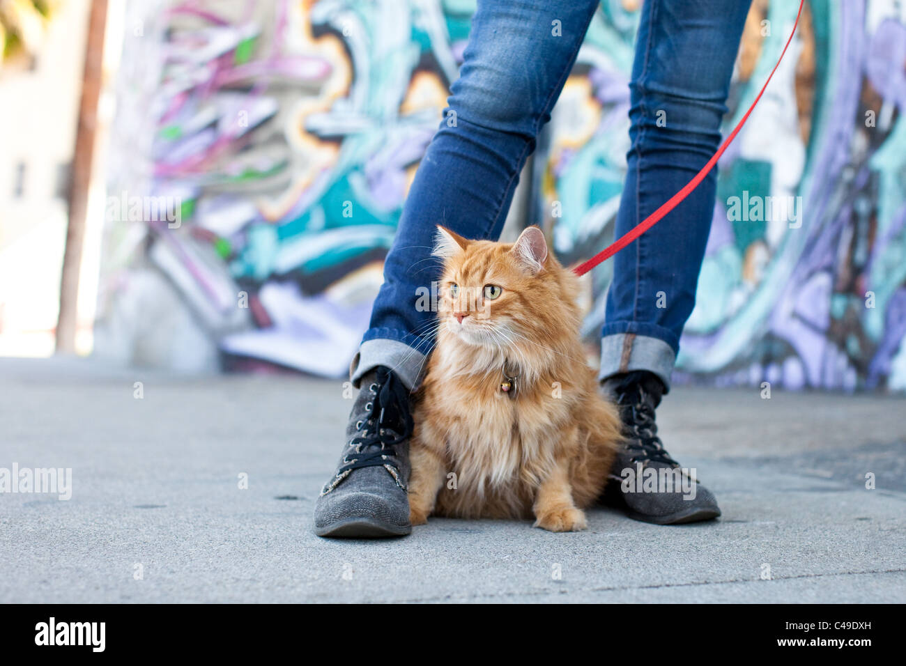 A small longhaired orange cat on a harness and leash sitting between his owner's feet in an urban neighborhood of Stock Foto