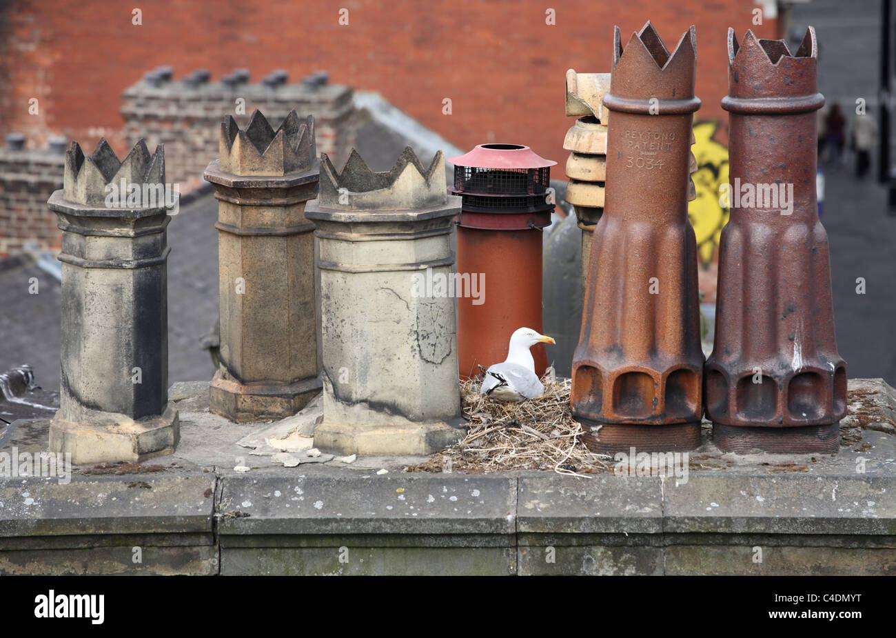 a-herring-gull-sits-upon-its-nest-betwee