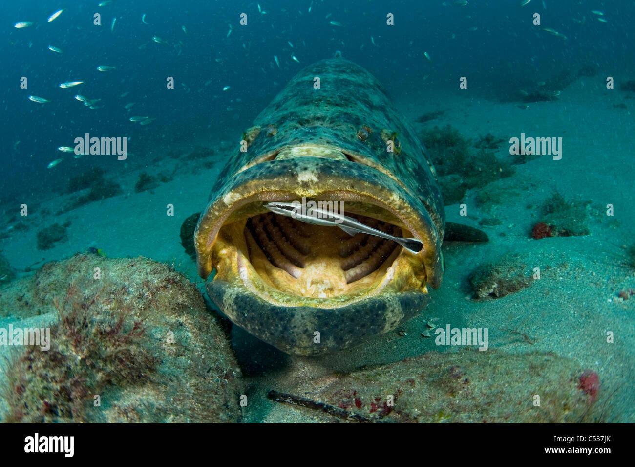 Goliath grouper epinephelus itajara photographed for Grouper fishing florida