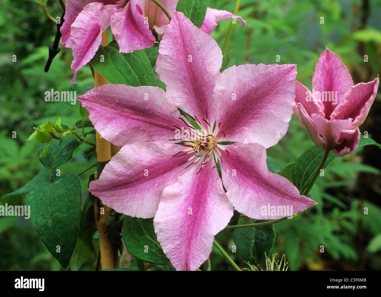 clematis 39 ooh la la 39 pink striped stripes garden plant. Black Bedroom Furniture Sets. Home Design Ideas
