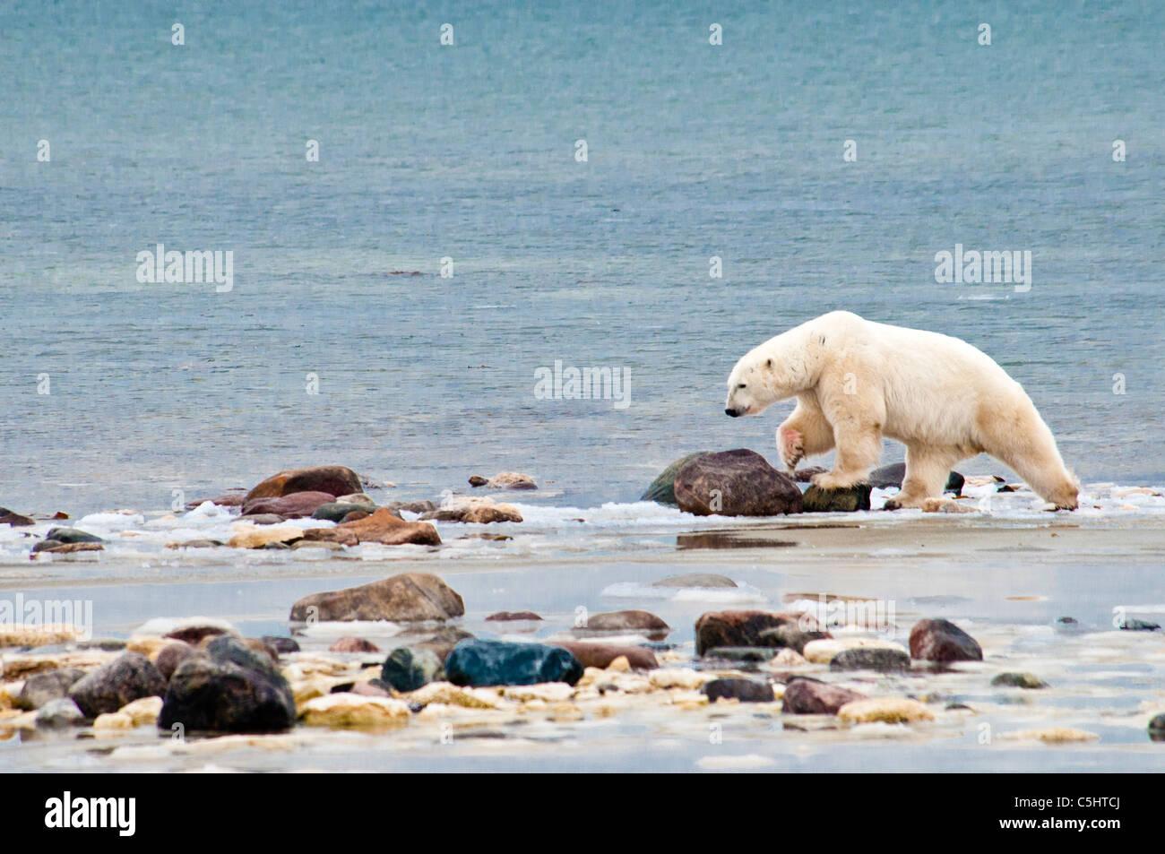 polar-bear-ursus-maritmus-blood-on-paw-w