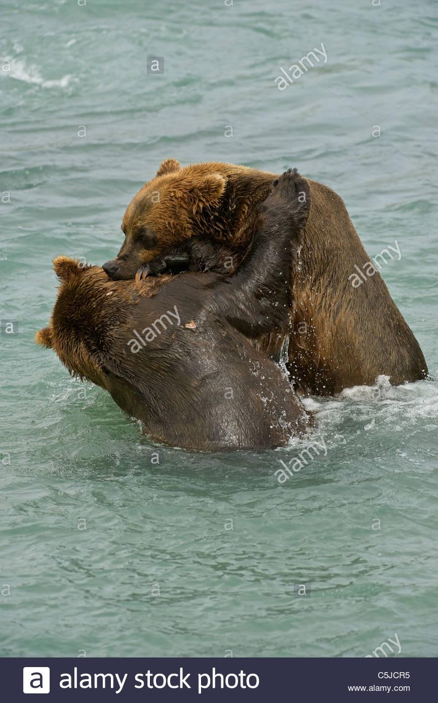 American Brown bear/Grizzly bear (Ursus arctos horribilis ...