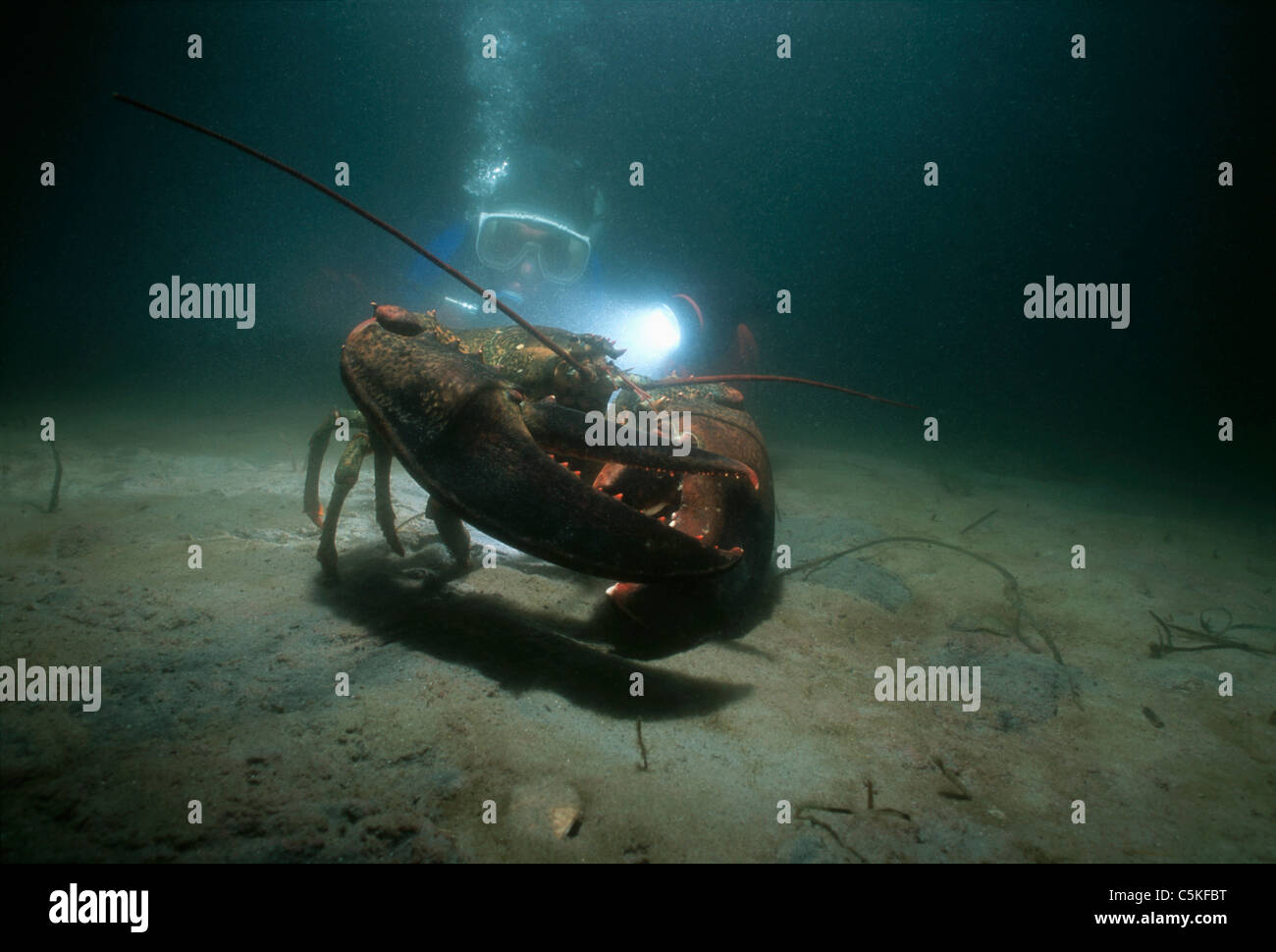 Giant 16 pound Lobster (Homarus americanus) and a diver. Gloucester Stock Photo, Royalty Free ...