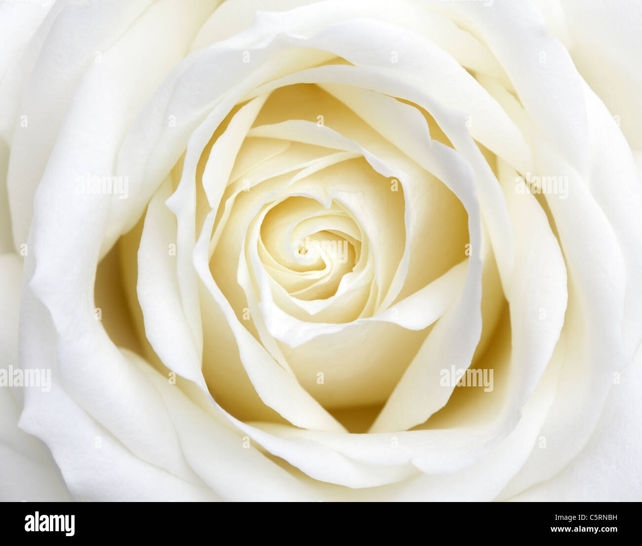 White Rose Stock Foto