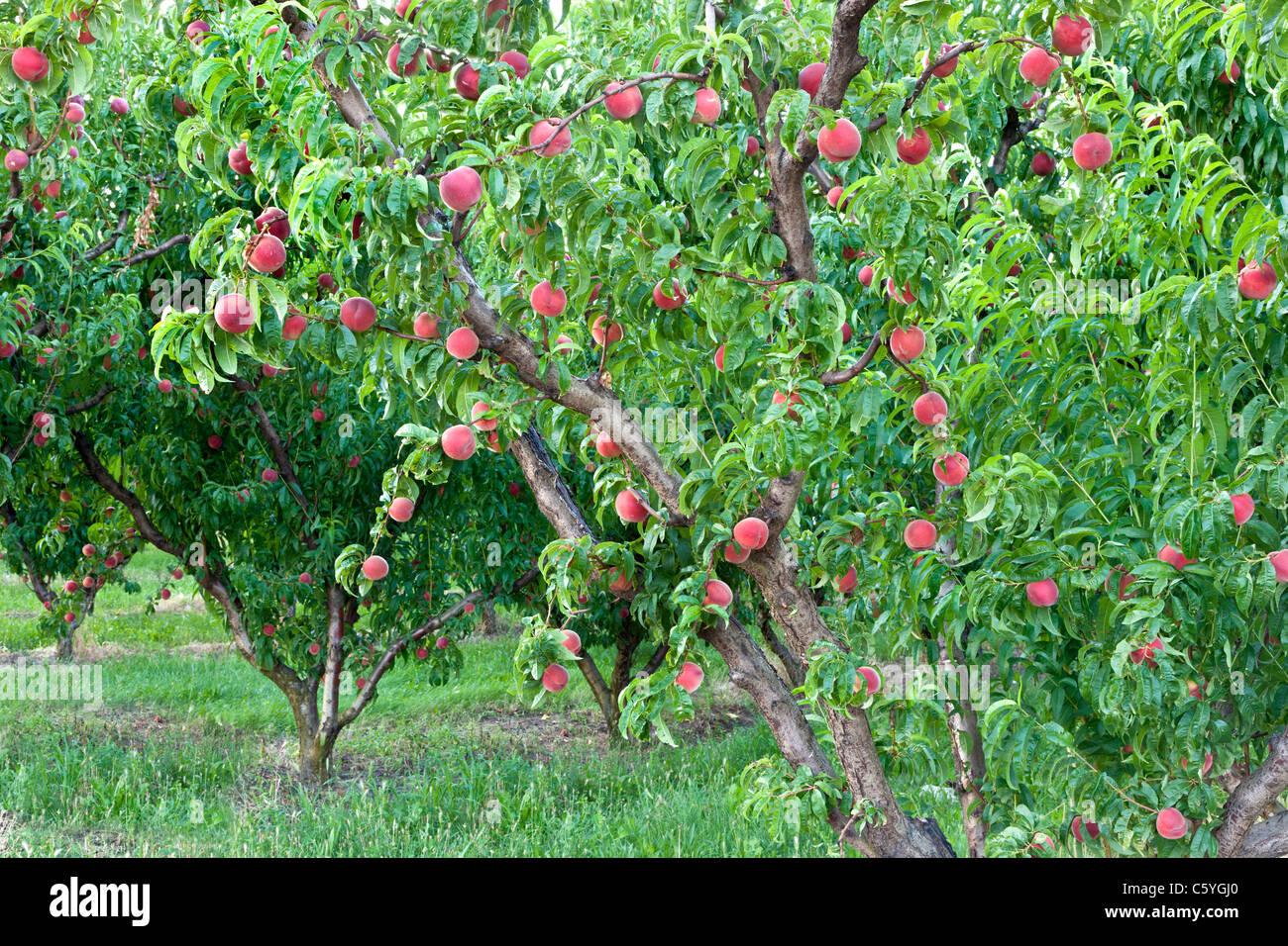 Peach tree bearing fruit 'White Lady Stock Photo, Royalty Free Image: 38099768 - Alamy