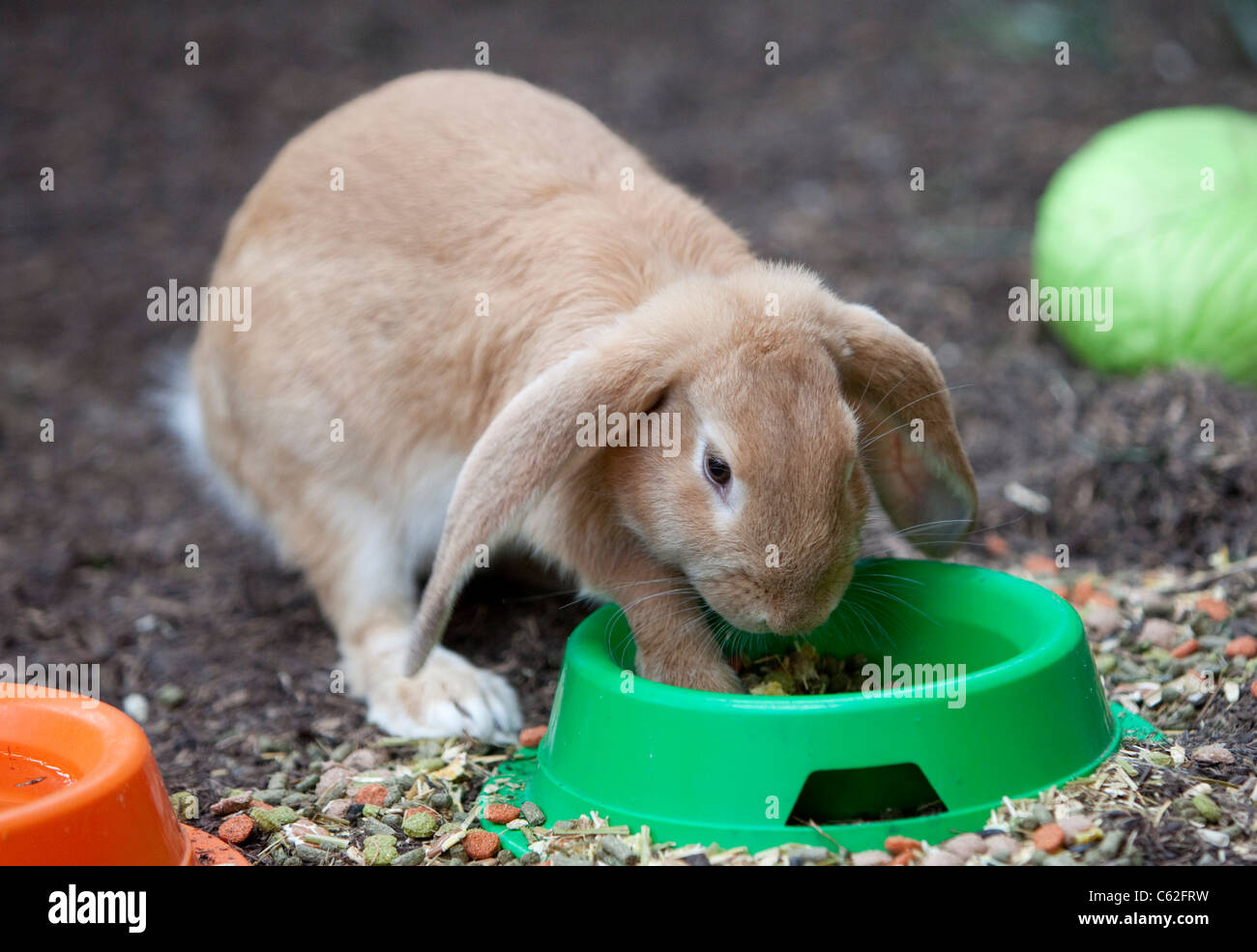 a-giant-lop-eared-rabbit-eating-food-fro
