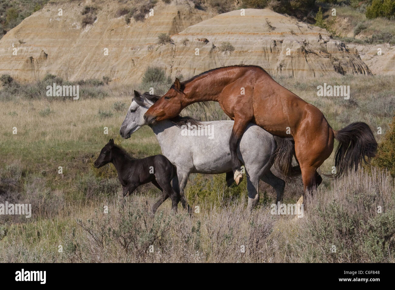 Feral Wild Horses Mating Theodore Roosevelt National
