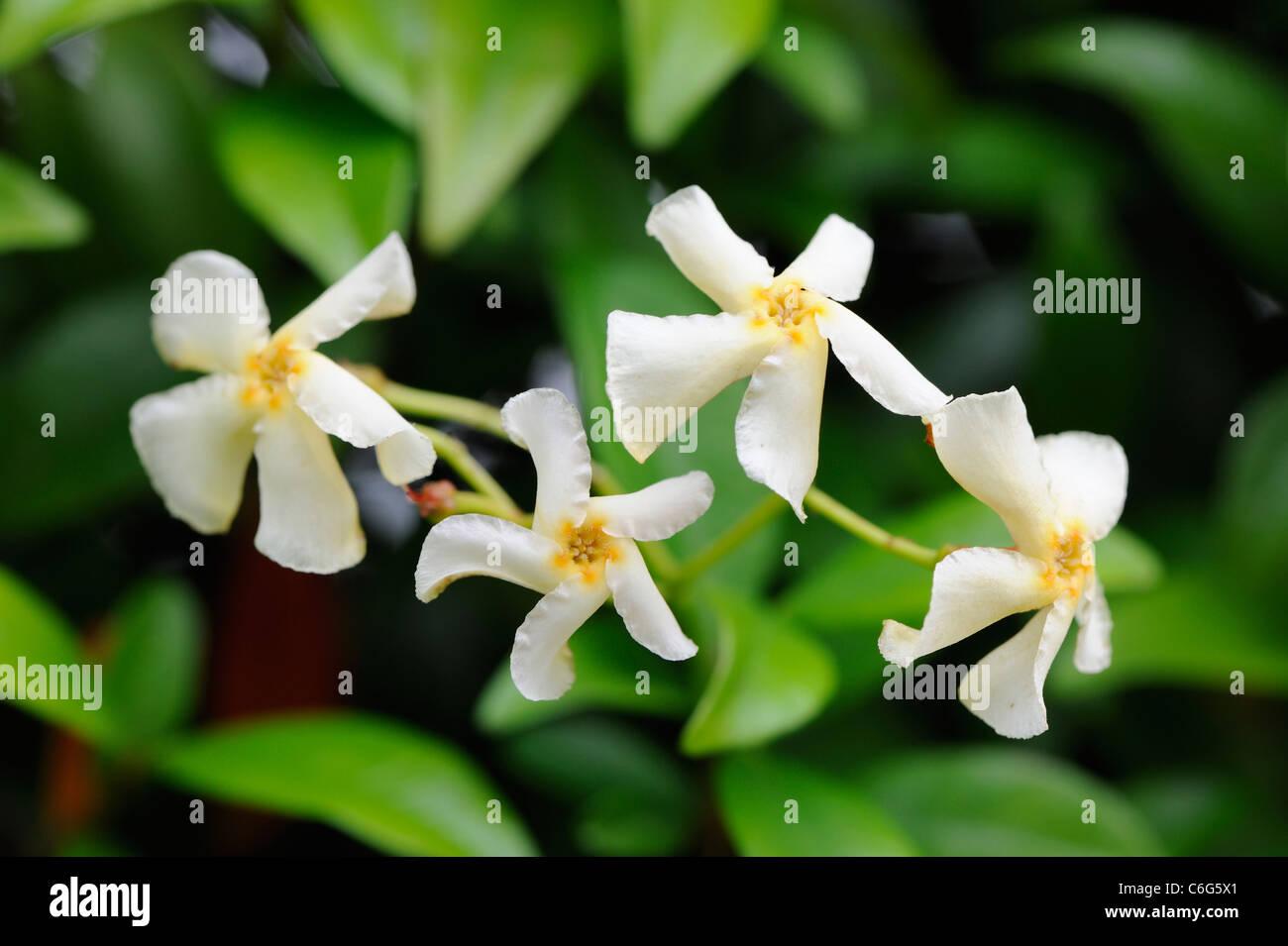 trachelospermum-jasminoides-confederate-