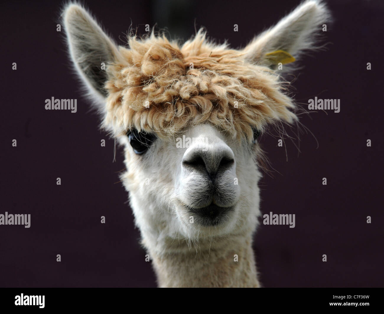 a-portrait-of-an-alpaca-with-a-big-fring