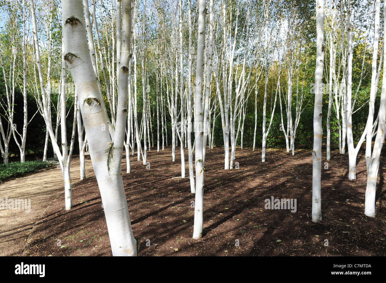 White birch trees garden of himalayan birch uk stock photo for Silver birch trees for small gardens
