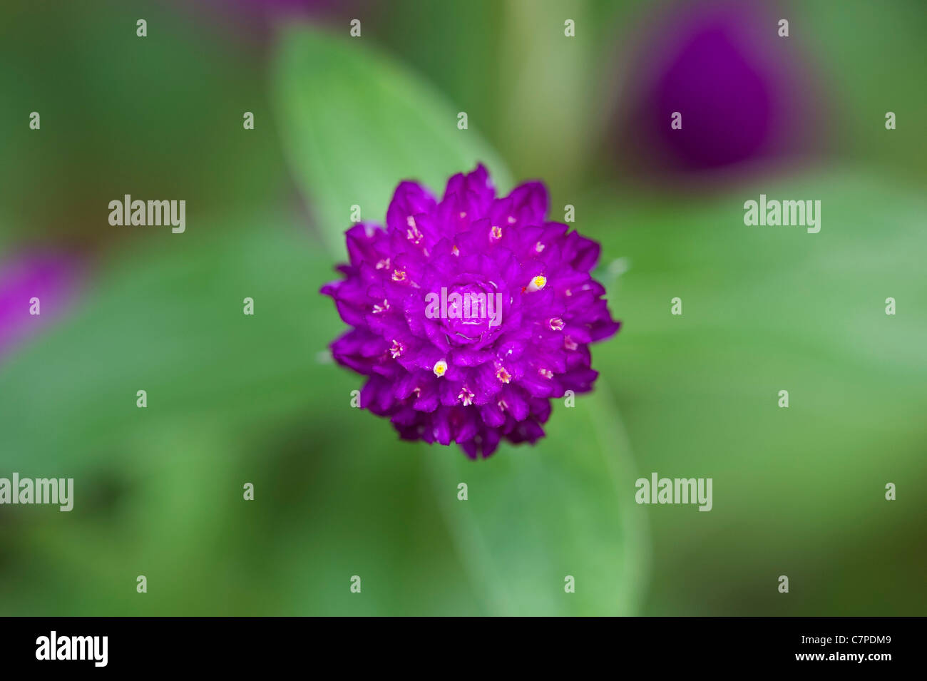 Gomphrena globosa .  Globe Amaranth or Bachelor Button flower in India Stock Foto