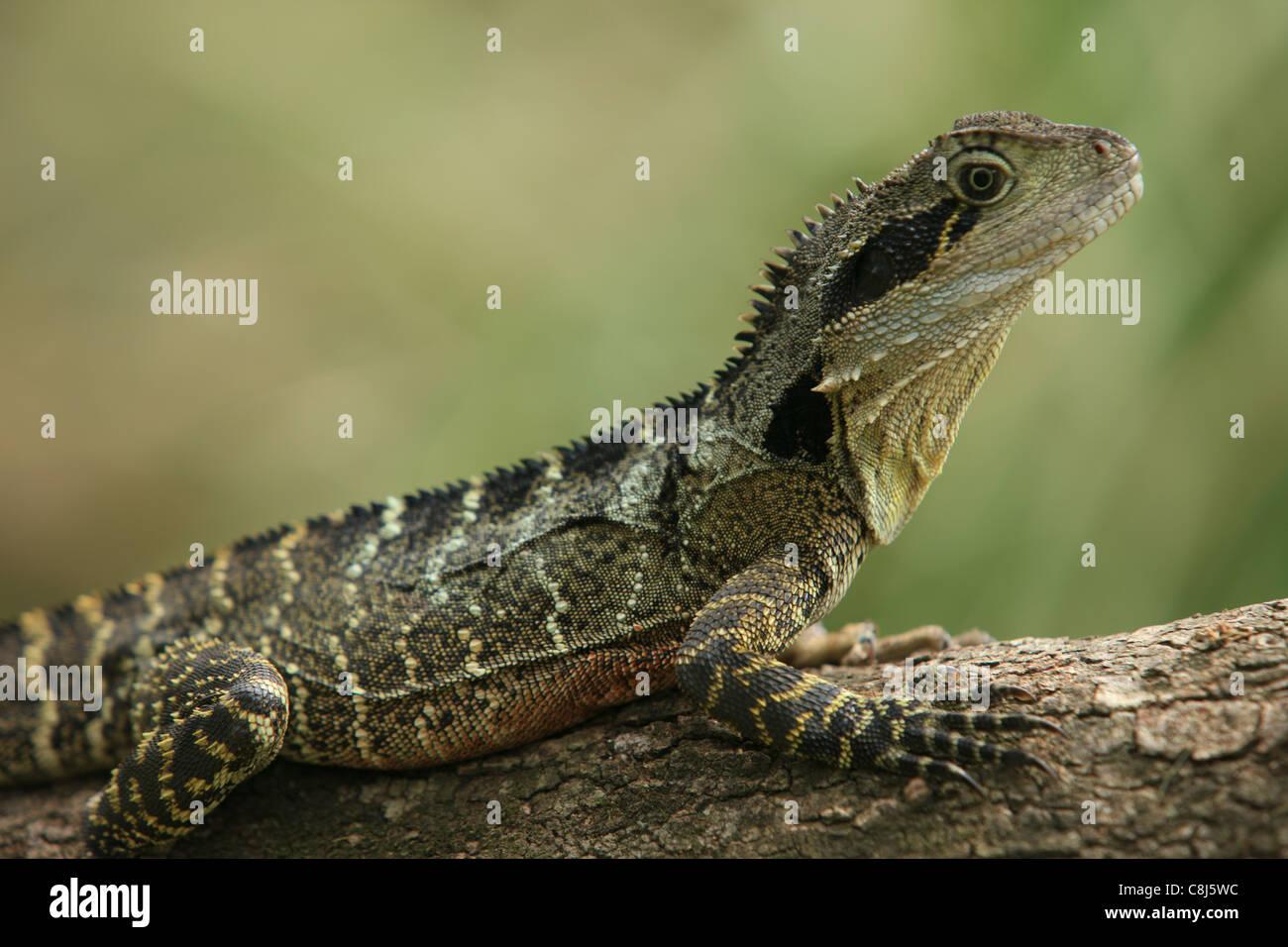 Australian Water Dragon: Australian Water Dragon, Physignathus Lesueurii, Eastern