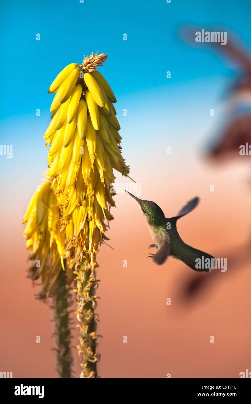 The Netherlands, Oranjestad, Sint Eustatius Island, Dutch Caribbean. Antillean Crested Hummingbird. Female. Stock Foto