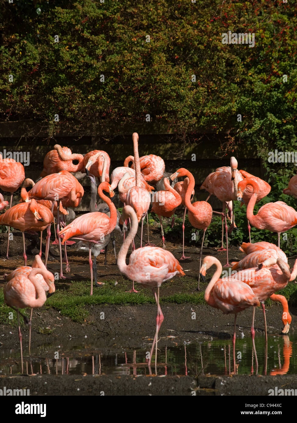flamingos-at-the-wildfowl-and-wetlands-t