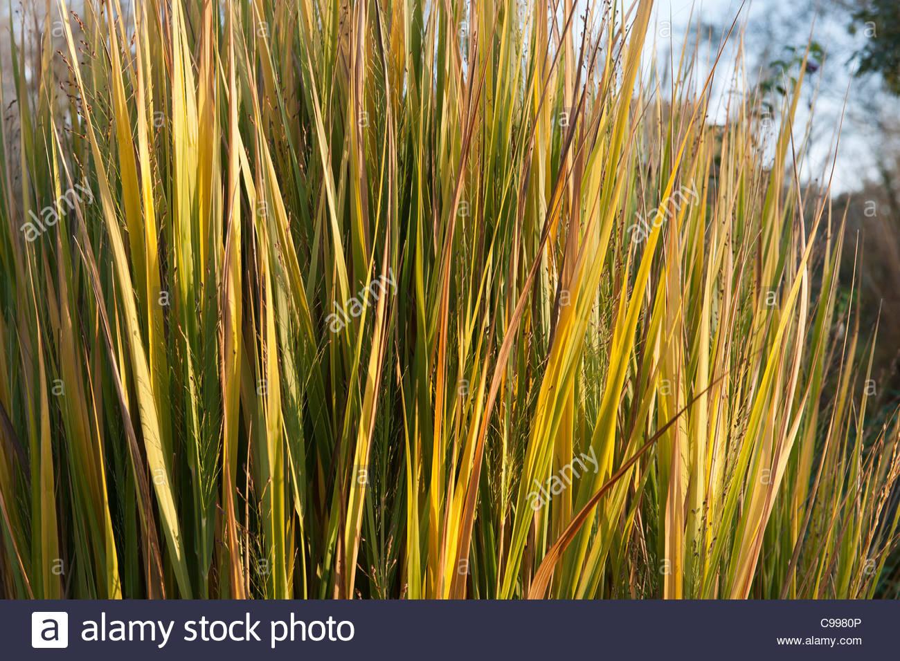 Switchgrass panicum virgatum north wind late summer autumn for Ornamental grass yellow