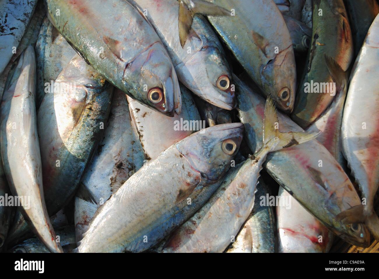 Indian mackerel rastrelliger kanagurta or banagda on for Kumak s fish