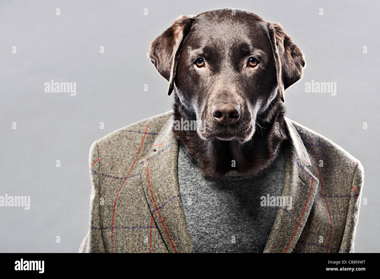 Chocolate Labrador in Hunting Jacket Stock Photo, Royalty ...
