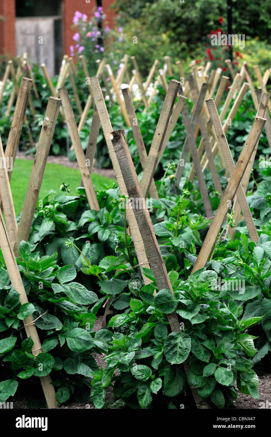 Dahlia Dahlias Perennials Wood Wooden Stake Stakes Staked