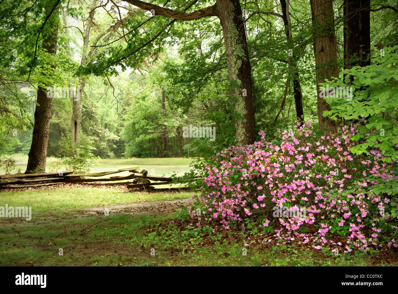 pink-azaleas-in-north-carolina-landscape