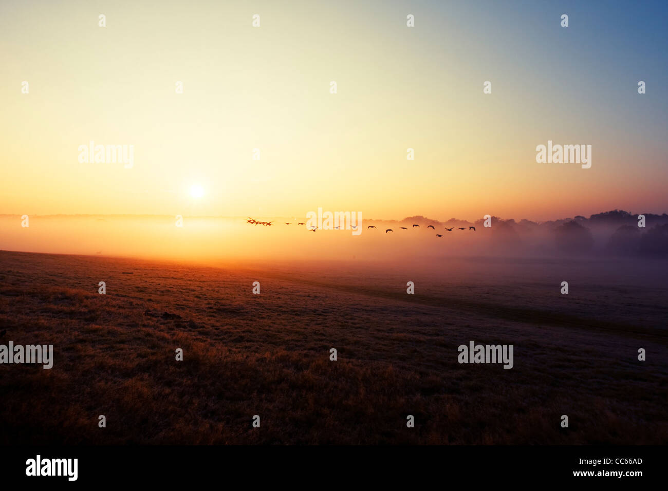 Flock of wild ducks flying in the sunrise. Richmond Park, London, England, UK. Stock Photo