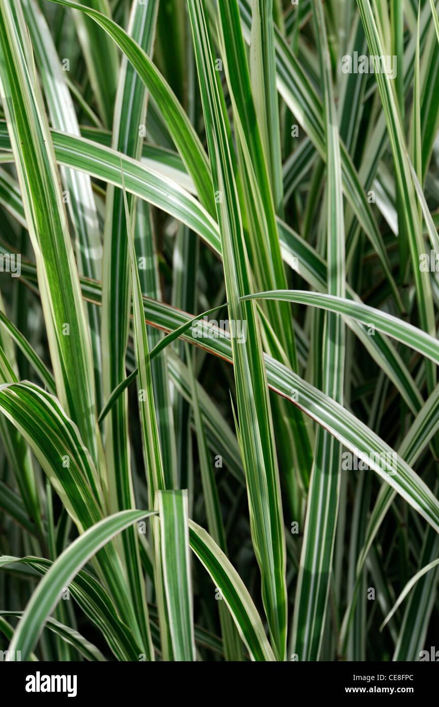 Miscanthus sinensis dixieland plant portraits green white for Green ornamental grass