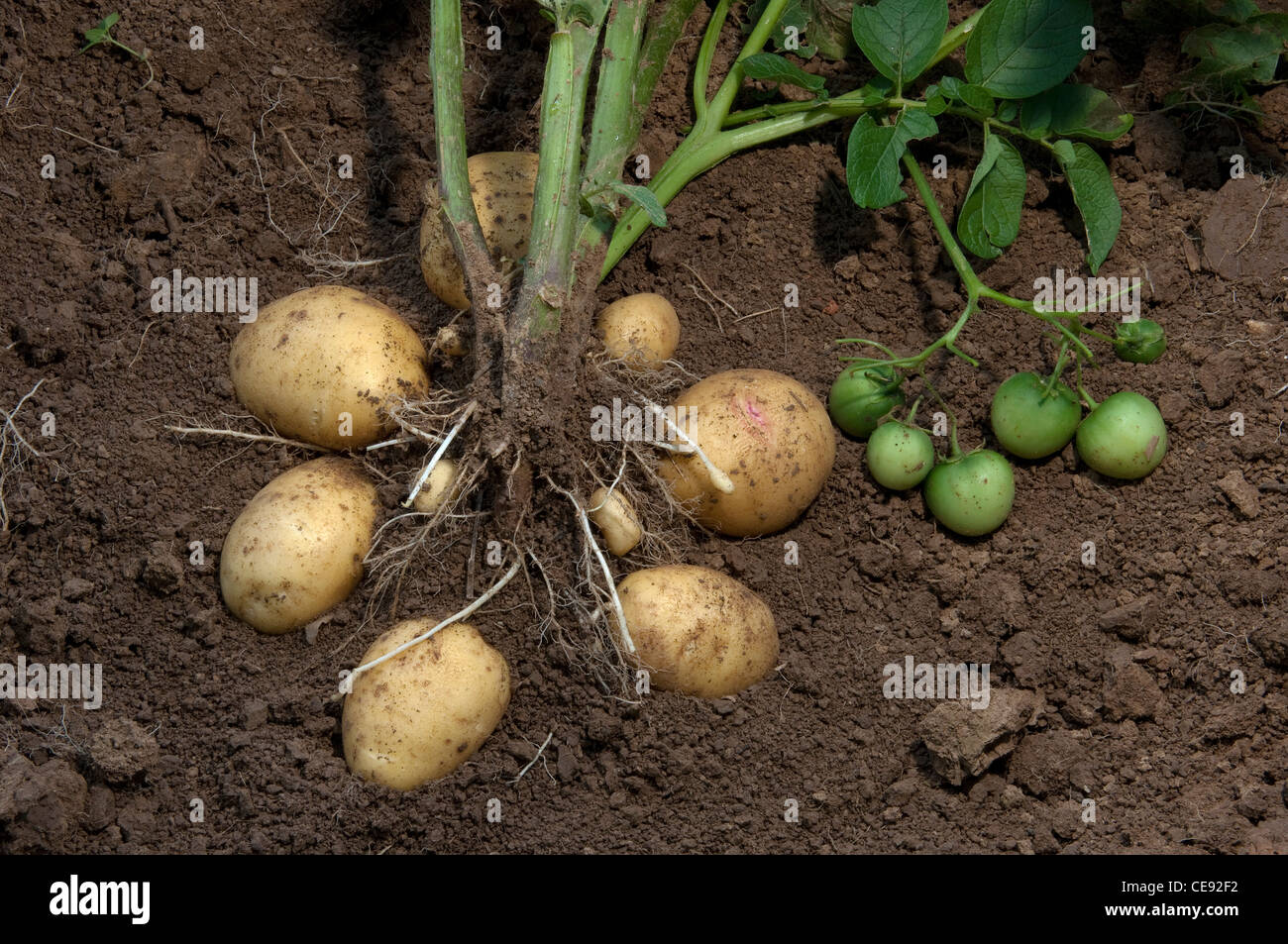 Potato (Solanum tuberosum Quarta). Plant with tubers and ...