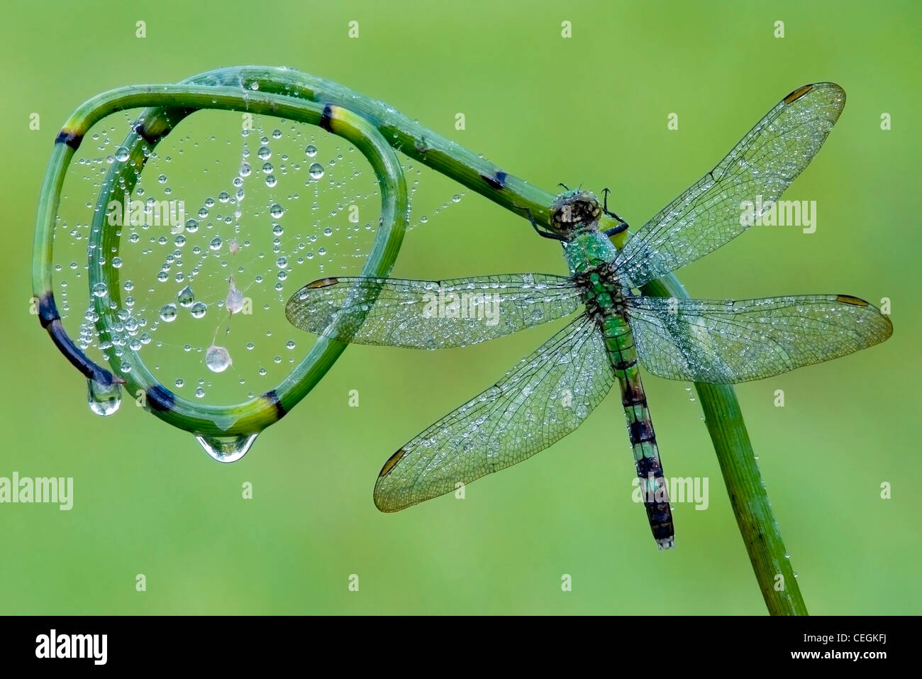Dewy Eastern Pondhawk Skimmer Dragonfly Erythemis simplicicollis on Scouring Rush Equisetum species Eastern USA Stock Photo