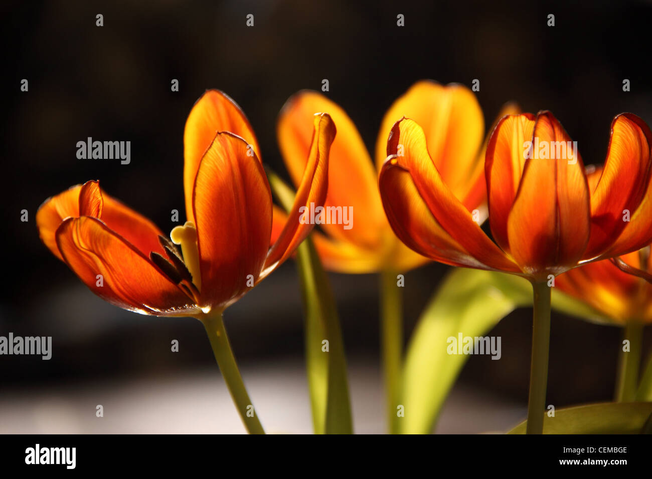 orange-tulips-beginning-to-fade-petals-d