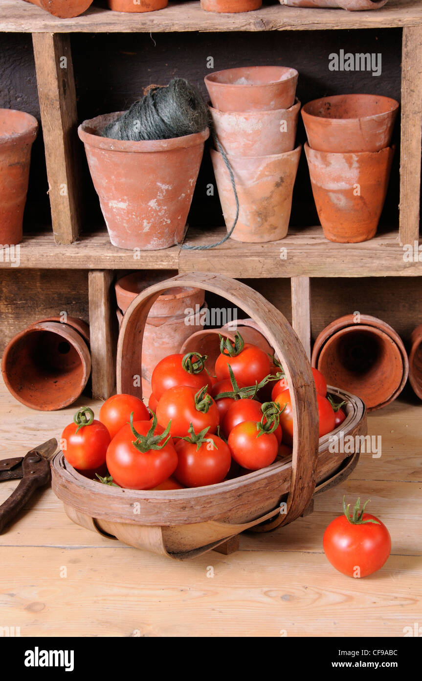 Freshly picked home grown tomatoes in trug in rustic potting shed setting. Stock Foto