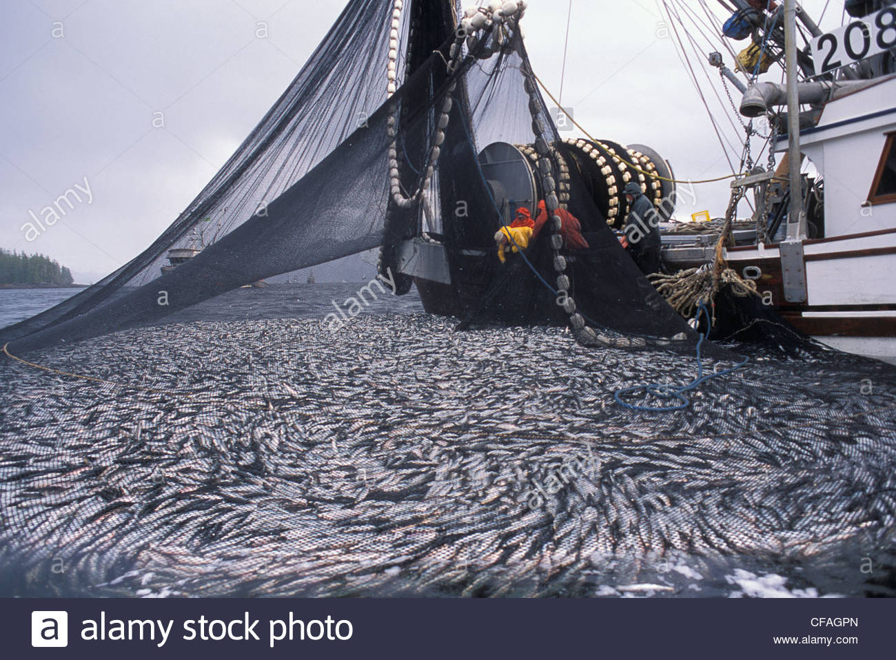 commercial fishing boat pulling up net full of herring