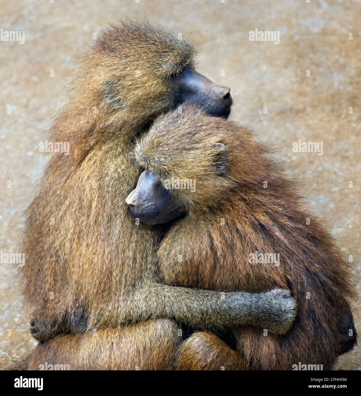 Guinea Baboon couple, Cabarceno, Spain Stock Foto
