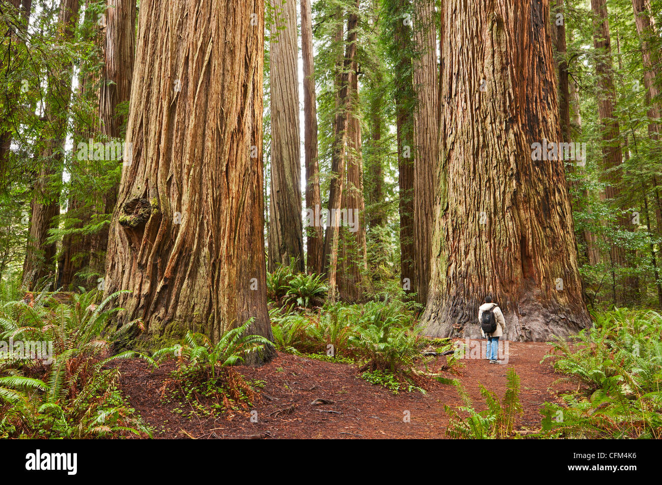 the-beautiful-and-massive-giant-redwoods