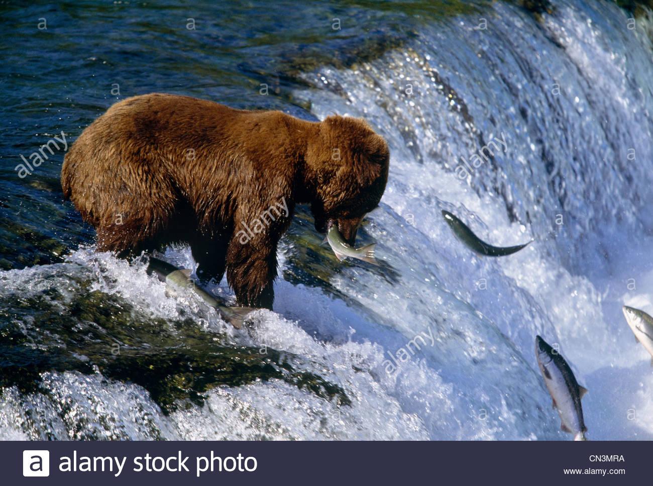 Brown bear catching salmon at brooks falls katmai for Bear catching fish