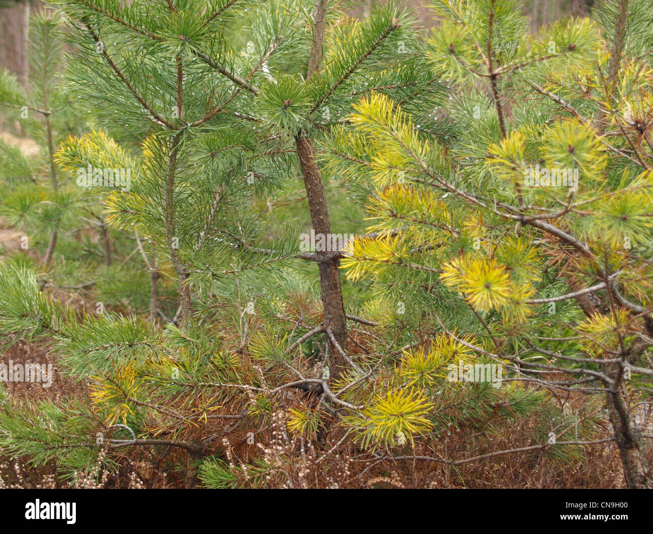 pine fir pinus kiefer stock photo royalty free image 47539408 alamy. Black Bedroom Furniture Sets. Home Design Ideas