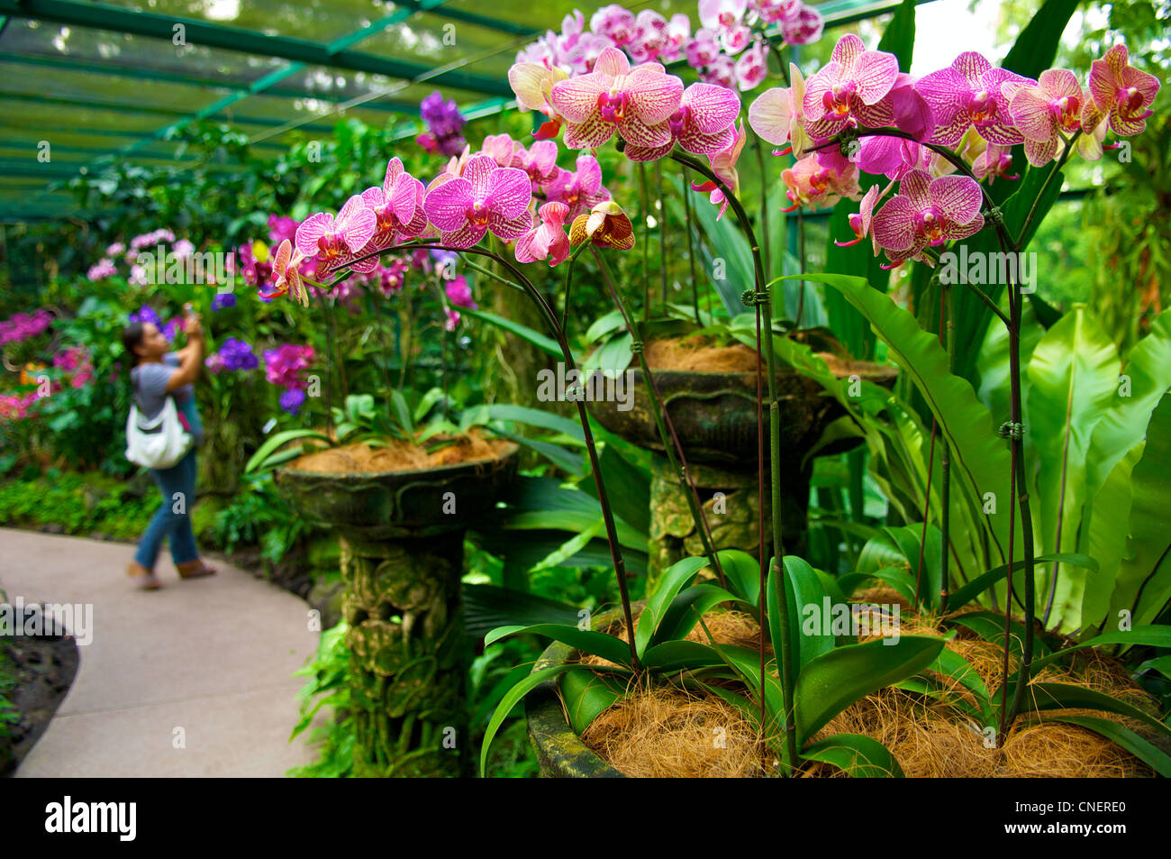 Orchids in a greenhouse in the National Orchid Garden in the Botanic Gardens in Singapore Stock Photo