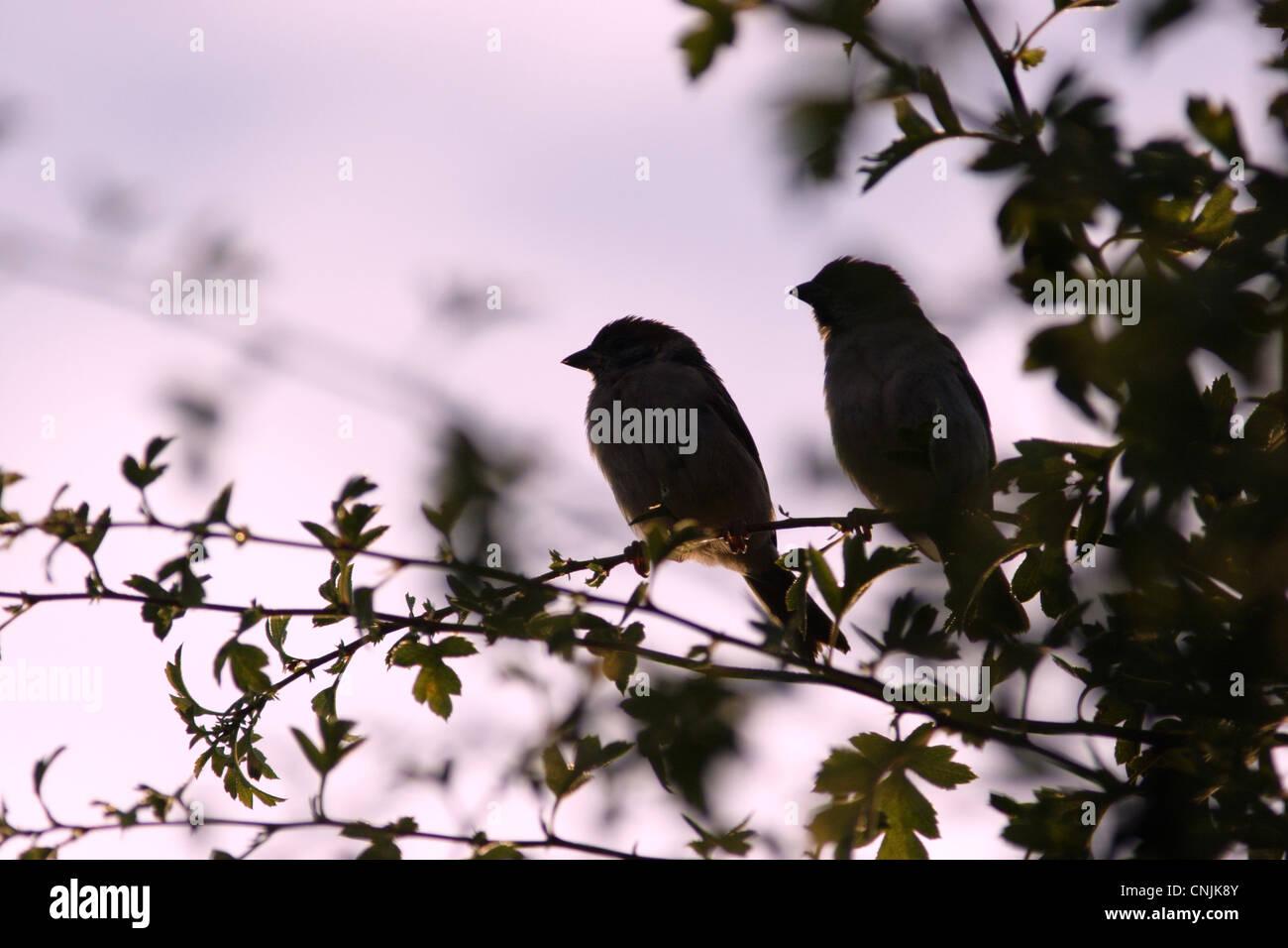 eurasian-tree-sparrow-passer-montanus-ad