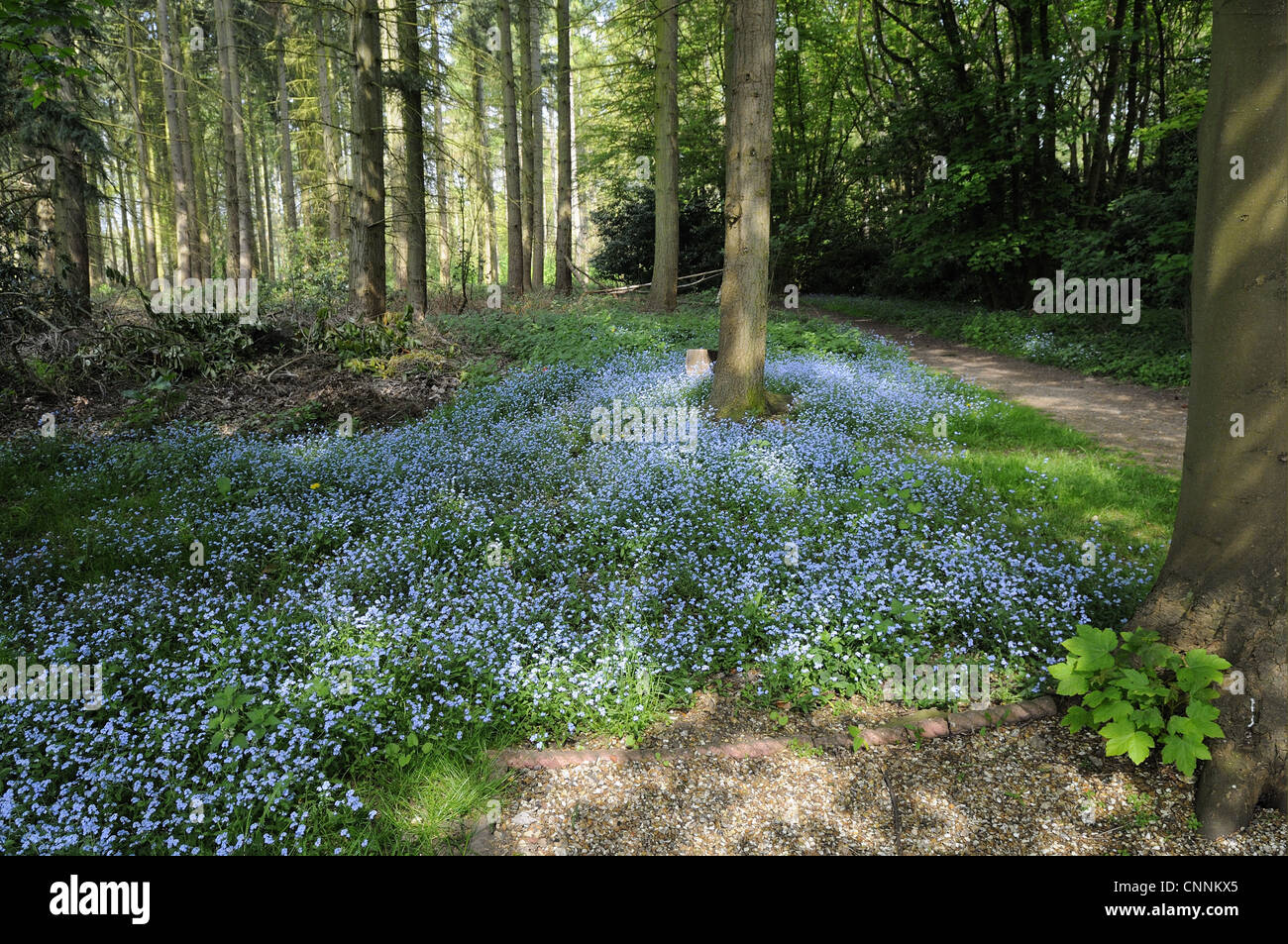 wood forget me not myosotis sylvatica flowering mass growing in stock photo 47805133 alamy. Black Bedroom Furniture Sets. Home Design Ideas