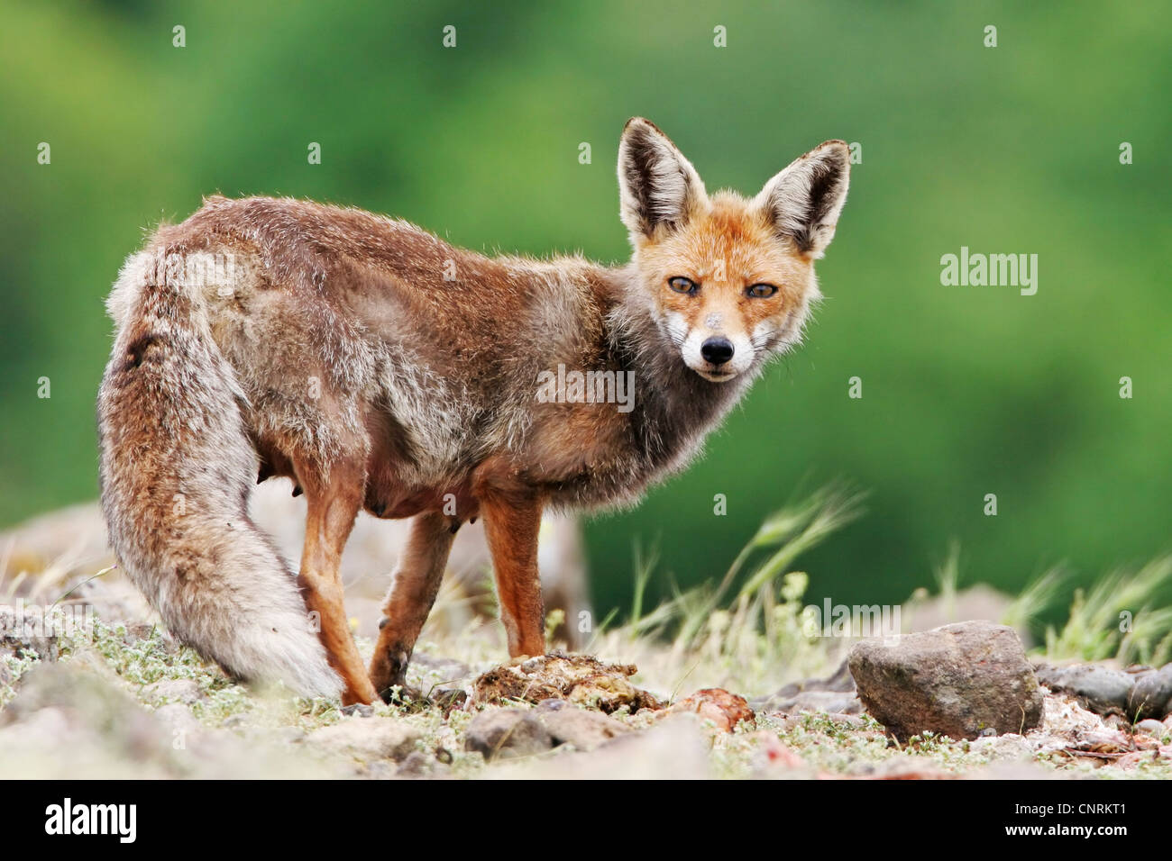redfox single parents Gray fox (hunted) urocyon cinereoargenteus this shy, nocturnal canine is very similar to the red fox, and is found state-wide  females deliver their single,.
